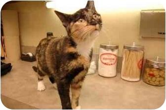 Domestic Shorthair Kitten for adoption in Atlanta, Georgia - Minky
