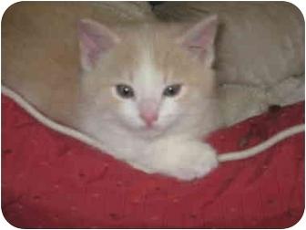 Domestic Shorthair Kitten for adoption in Loveland, Colorado - Boogey