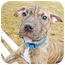Photo 2 - Shar Pei/Terrier (Unknown Type, Medium) Mix Puppy for adoption in Detroit, Michigan - Leah-Adopted!