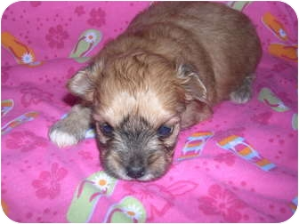 Pomeranian/Poodle (Toy or Tea Cup) Mix Puppy for adoption in Wauseon, Ohio - Teacup Pomapoo Puppies