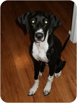 Whippet/Pointer Mix Dog for adoption in Arlington, Texas - Tulip
