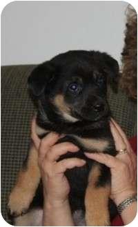 German Shepherd Dog Mix Puppy for adoption in Winnipeg, Manitoba - Katie