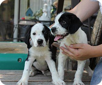 Schnauzer (Miniature)/Beagle Mix Puppy for adoption in Alliance, Nebraska - Dre and Snoop