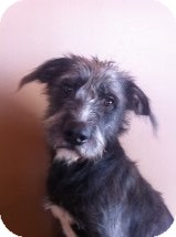 Schnauzer (Standard) Mix Dog for adoption in Russellville, Kentucky - Gus
