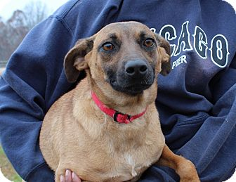 Shepherd (Unknown Type)/Terrier (Unknown Type, Small) Mix Dog for adoption in Washington, D.C. - Gingerbread Girl