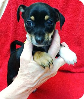 Chihuahua Mix Puppy for adoption in Kimberton, Pennsylvania - Kacey