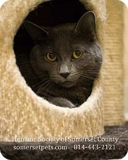 Domestic Shorthair Cat for adoption in Somerset, Pennsylvania - Benny