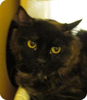 Domestic Mediumhair Cat for adoption in Pueblo West, Colorado - Banjo