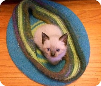 Siamese Kitten for adoption in Troy, Michigan - Little Linus