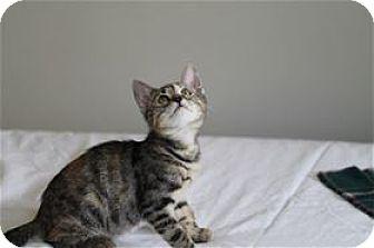 Domestic Shorthair Kitten for adoption in Rocklin, California - Storytime