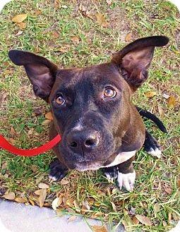Labrador Retriever/Pit Bull Terrier Mix Dog for adoption in Riverview, Florida - Ryssa