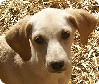Labrador Retriever Mix Puppy for adoption in Hagerstown, Maryland - Amber