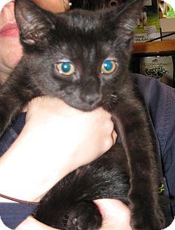 Domestic Shorthair Kitten for adoption in Randolph, New Jersey - Willow & Jax
