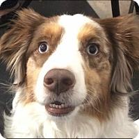 Adopt A Pet :: BENTLEY - Fort Worth, TX