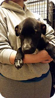 Shepherd (Unknown Type)/Labrador Retriever Mix Puppy for adoption in Mantua, New Jersey - Autumn
