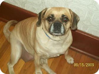 Pug/Beagle Mix Dog for adoption in Buffalo, New York - Anabelle