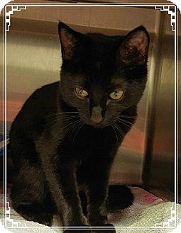 Domestic Shorthair Kitten for adoption in Marietta, Georgia - TWIGGY (R)