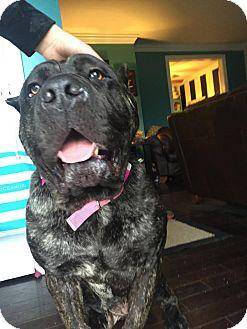Cane Corso Dog for adoption in Virginia Beach, Virginia - Libby-OH