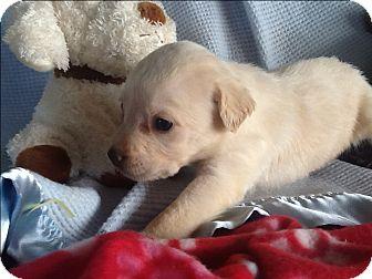Golden Retriever/Terrier (Unknown Type, Small) Mix Puppy for adoption in springtown, Texas - Odessa