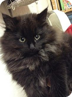 Domestic Longhair Kitten for adoption in Brampton, Ontario - Alley