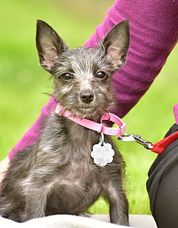 Cairn Terrier Mix Dog for adoption in Santa Monica, California - Dot