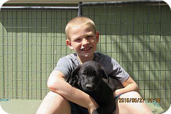 Labrador Retriever/Spitz (Unknown Type, Medium) Mix Puppy for adoption in Walthill, Nebraska - Donnie