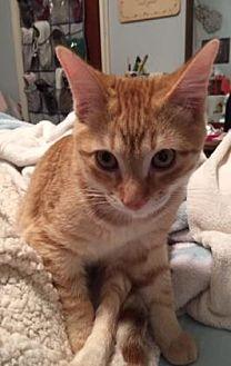 American Shorthair/Domestic Shorthair Mix Cat for adoption in Santa Fe, Texas - Van