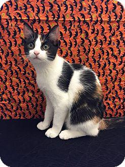 Calico Kitten for adoption in Waldorf, Maryland - Arya