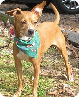 Terrier (Unknown Type, Medium) Mix Dog for adoption in Voorhees, New Jersey - Sugar
