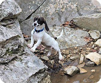 Dachshund/Beagle Mix Puppy for adoption in Homewood, Alabama - Lily Mae