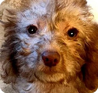 Goldendoodle Puppy for adoption in Wakefield, Rhode Island - ANNABELLE(GOLDENDOODLE PUPPY!