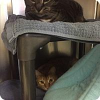 Adopt A Pet :: Athena&Blaze-A bonded pair! - Manchester, NH