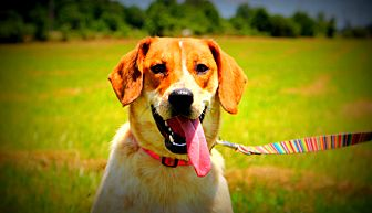 Australian Cattle Dog/Coonhound (Unknown Type) Mix Dog for adoption in Southbury, Connecticut - Fancy
