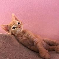 Adopt A Pet :: Kitten: Roxy - Napa, CA