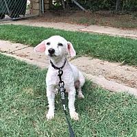 Poodle (Miniature) Dog for adoption in Great Bend, Kansas - Bob