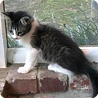 Adopt A Pet :: Oreo - Little Rock, AR