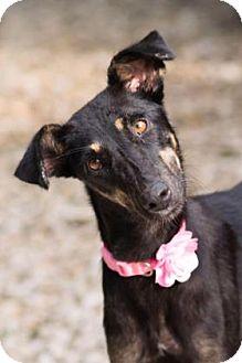 Saluki/Mixed Breed (Medium) Mix Dog for adoption in Santa Fe, Texas - Juliette from INDIA