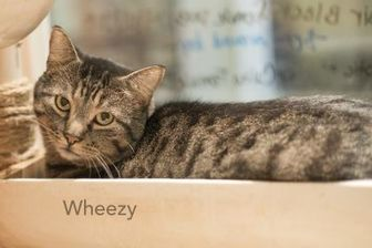 Domestic Shorthair/Domestic Shorthair Mix Cat for adoption in West Des Moines, Iowa - Wheezy