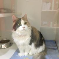 Adopt A Pet :: KELSEY - THORNHILL, ON
