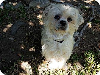 Maltese Dog for adoption in Albuquerque, New Mexico - Lilly
