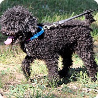 Poodle (Miniature) Mix Dog for adoption in Southbury, Connecticut - Toby~adopted!