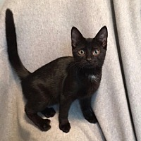 Adopt A Pet :: Licorice - Colmar, PA