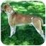 Photo 3 - St. Bernard/Hound (Unknown Type) Mix Dog for adoption in West Richland, Washington - Ranger