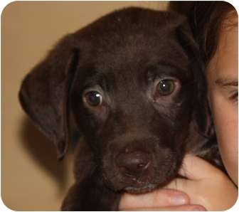 Labrador Retriever Mix Puppy for adoption in Largo, Florida - Jax