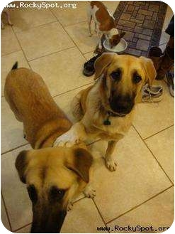 German Shepherd Dog Mix Dog for adoption in Newcastle, Oklahoma - Scrappy and Scuba Doo