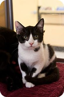 Domestic Shorthair Kitten for adoption in Pinehurst, North Carolina - Chong