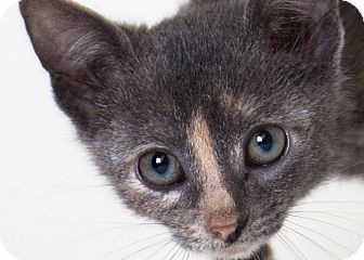 Domestic Shorthair Kitten for adoption in Rockaway, New Jersey - Hope