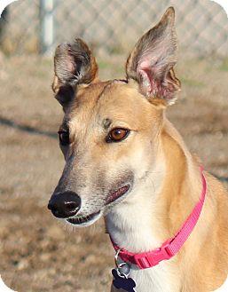 Greyhound Dog for adoption in Tucson, Arizona - Amber