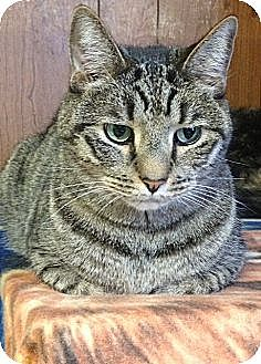 American Shorthair Cat for adoption in Cleveland, Ohio - Rocco
