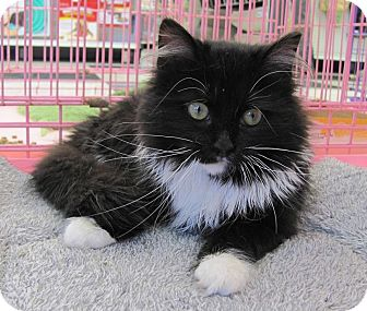 Domestic Longhair Cat for adoption in Covington, Kentucky - Silky